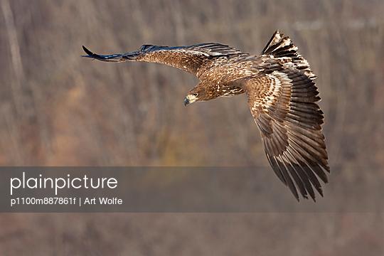 Common buzzard in flight - p1100m887861f by Art Wolfe
