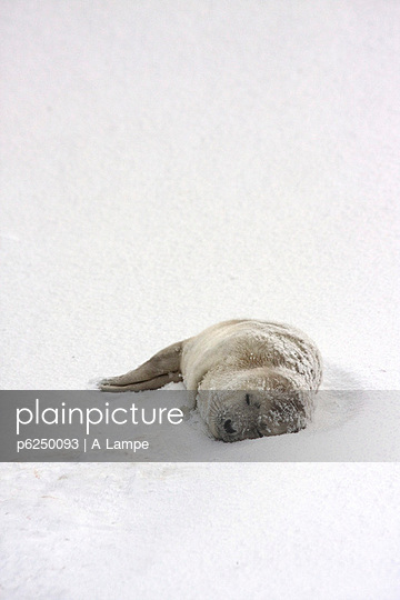 Babyrobbe - p6250093 von A Lampe