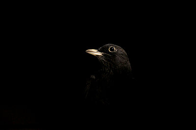 Blackbird - p9690051 by Alix Marie