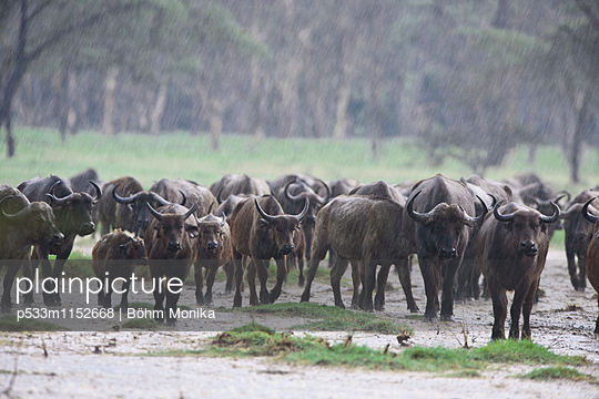 Kaffernbüffel im heftigen Regen - p533m1152668 von Böhm Monika