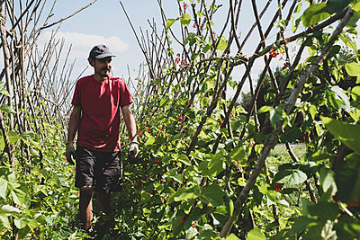 Farmer walking along rows of runner beans. - p1100m2271475 by Mint Images