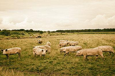 Ökologische Schweinezucht - p1222m1176702 von Jérome Gerull