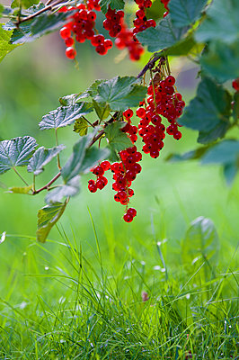 Red currants - p1242m2027808 by teijo kurkinen