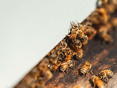 Beehives, Bees and Honey - p1335m2109593 by Daniel Cullen