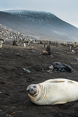 UK, South Georgia and South Sandwich Islands, Portrait of southern elephant seal (Mirounga leonina) relaxing on sand in front of chinstrap penguin(Pygoscelisantarcticus) colony - p300m2202996 by Michael Runkel