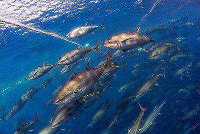 Atlantic bluefin tuna fished in seine fishing net, Malta, Mediterranean Sea - p871m2122910 by Antonio Busiello