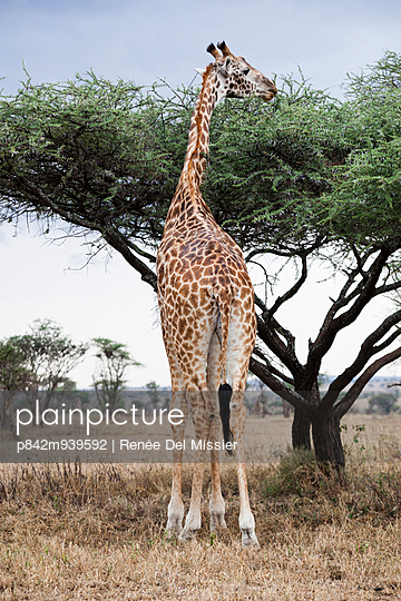 Giraffe - p842m939592 by Renée Del Missier