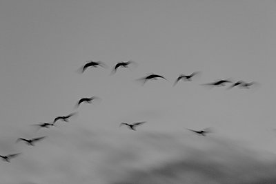 Flock of canada geese II - p235m877585 by KuS