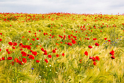 Barley fields with corn poppies - p739m1030883 by Baertels