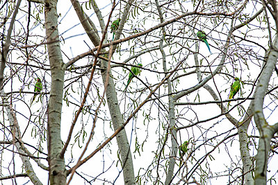 Ring-necked parakeets on trees in London - p1291m2181569 by Marcus Bastel