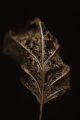 Golden coloured leaf - p039m1511174 by Christine Höfelmeyer