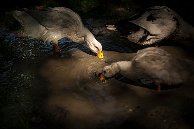 Goose drinking in a water puddle - p1007m1134873 by Tilby Vattard