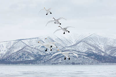 Whooper Swan, Cygnus cygnus, mid-air in winter. - p1100m1520116 by Mint Images