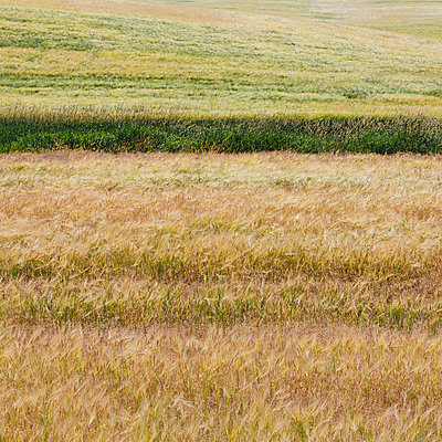 A wheat field with a ripening crop of wheat growing. Mixed crops, wheat and grasses. Wind blowing over the top of the crops.  - p1100m875921f by Paul Edmondson