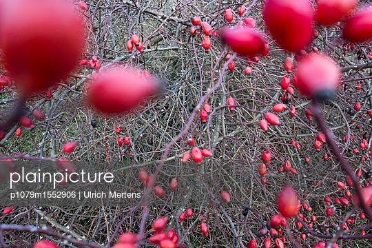 Hagebuttenzweige mit Früchten - p1079m1552906 von Ulrich Mertens
