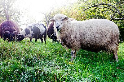 Grazing sheep - p880m908051 by Claudia Below