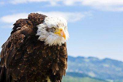 Eagle - p5990043 by Günter Flegar