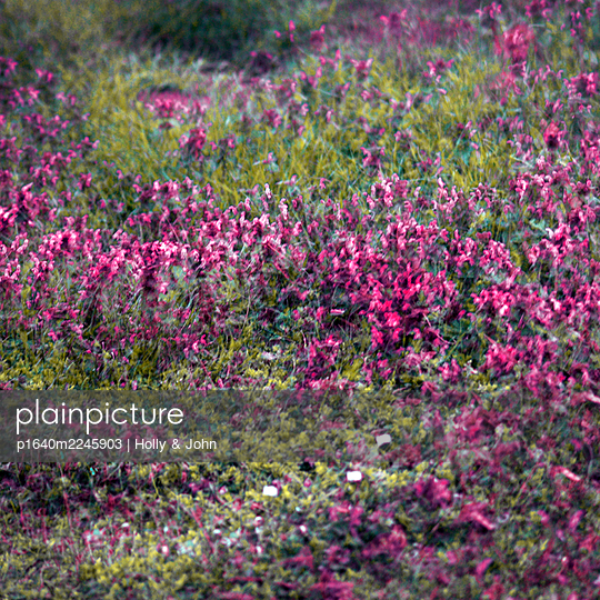 Red blooming flowers, multiple exposure - p1640m2245903 by Holly & John