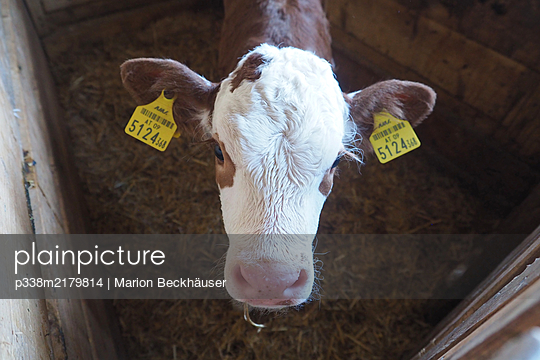 A calf with earmarkings, portrait - p338m2179814 by Marion Beckhäuser