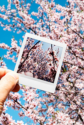 Polaroid of blossoming tree against blossoming tree - p1423m2063637 by JUAN MOYANO