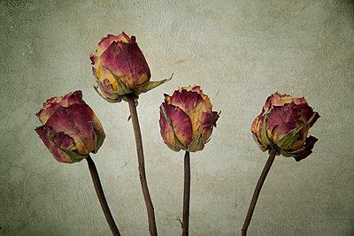 Vier getrocknete Rosen - p451m1559074 von Anja Weber-Decker