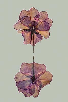 Pressed flowers - p971m2087109 by Reilika Landen