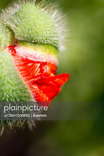Oriental poppy - p739m1030853 by Baertels