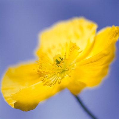 Yellow poppy - p4950189 by Jeanene Scott