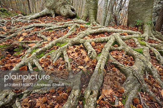 Wurzelgeflecht von Buchenbäumen, Toskana, Italien - p1316m1160872 von Andreas Strauß