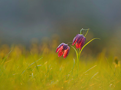 Snake's Head Fritillary on a meadow at morning light - p300m2005676 von Brigitte Stehle