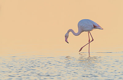 European Flamingo wading at sunset, Walvis Bay, Namibia - p884m1357005 by Yva Momatiuk & John Eastcott
