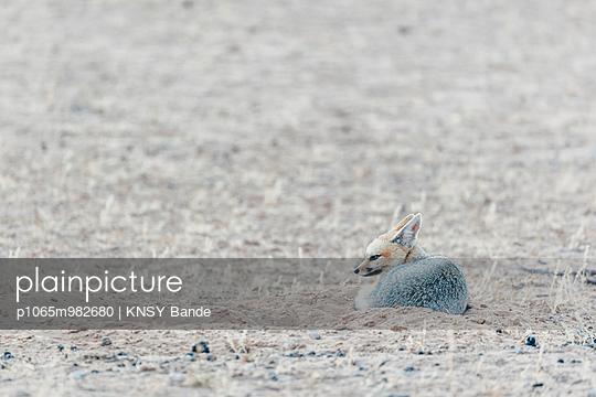 Ein Kapfuchs in der Savanne, Kalahari, Südafrika - p1065m982680 von KNSY Bande