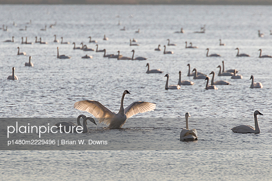Swan Lake - p1480m2229496 by Brian W. Downs