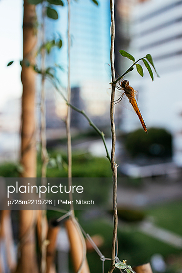 Thailand, Bangkok, Dragonfly on balcony - p728m2219726 by Peter Nitsch