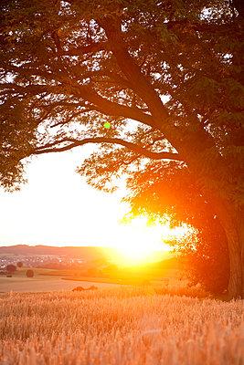 Uralter Baum im Sonnenuntergang - p533m1496772 von Böhm Monika