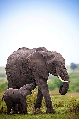 Elefantenfamilie - p533m899125 von Böhm Monika