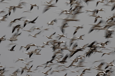 Large flock of Snow Geese flying together - p1480m2148235 by Brian W. Downs
