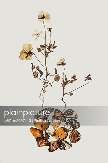 Plants and butterfly wings - p971m2087113 by Reilika Landen