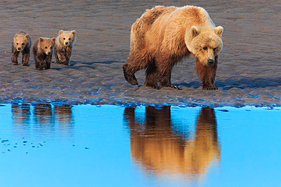 Brown bear sow and cubs - p1100m887868f by Art Wolfe
