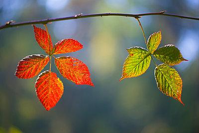 Shrubby Blackberry leaves in autumn, Netherlands - p884m1136535 by Corne van Oosterhout/ NIS
