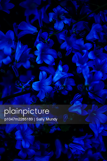 Macro close-up of blue campanula flowers in a dawn light - p1047m2285189 by Sally Mundy