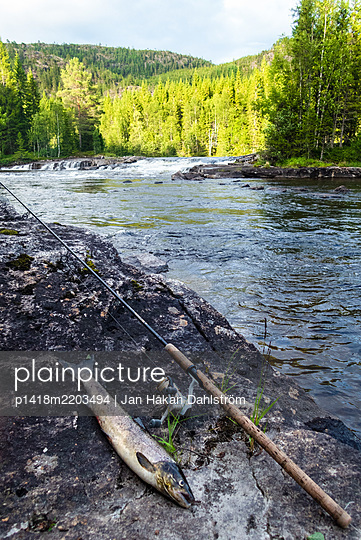 Salmon and fishing rod by river - p1418m2203494 by Jan Håkan Dahlström
