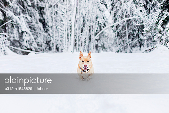 plainpicture | Photo library for authentic images - plainpicture p312m1548829 - Dog running in snow - plainpicture/Johner