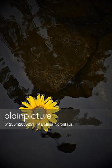 Sonnenblume auf Wasseroberfläche - p1235m2035251 von Karoliina Norontaus