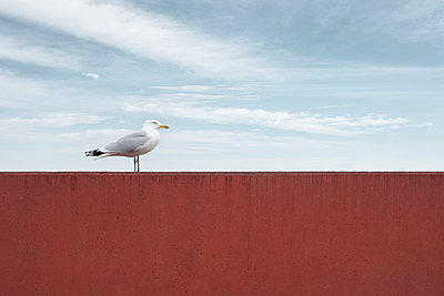 Single seagull on red wall - p1162m2281070 by Ralf Wilken