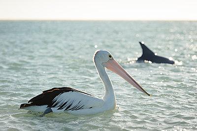 Pelikan mit Delfin - p1273m1110954 von melanka