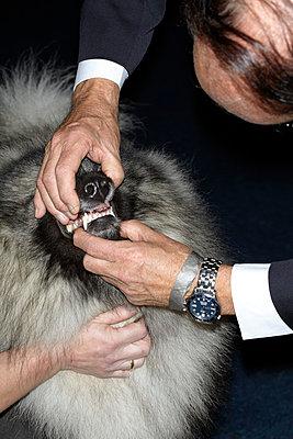 Dog Show - Pomeranian II - p250m808704 by Christian Diehl