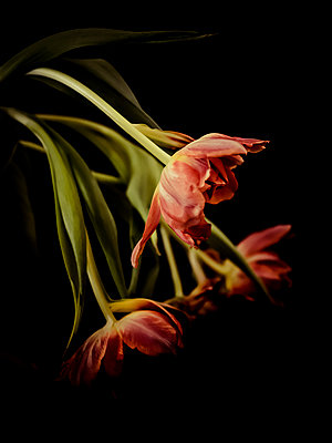 Red tulips in front of black background - p300m2219478 by Kristian Peetz