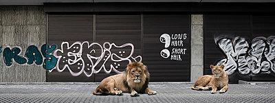 Zwei Löwen - p415m808537 von Tanja Luther