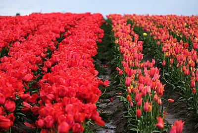 Rows of Tulip Flowers - p1262m1286468 by Maryanne Gobble